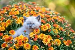 chrysanthemums toxic to pets