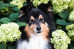 hydrangeas toxic to pets