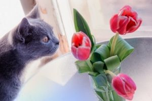 tulips toxic to pets