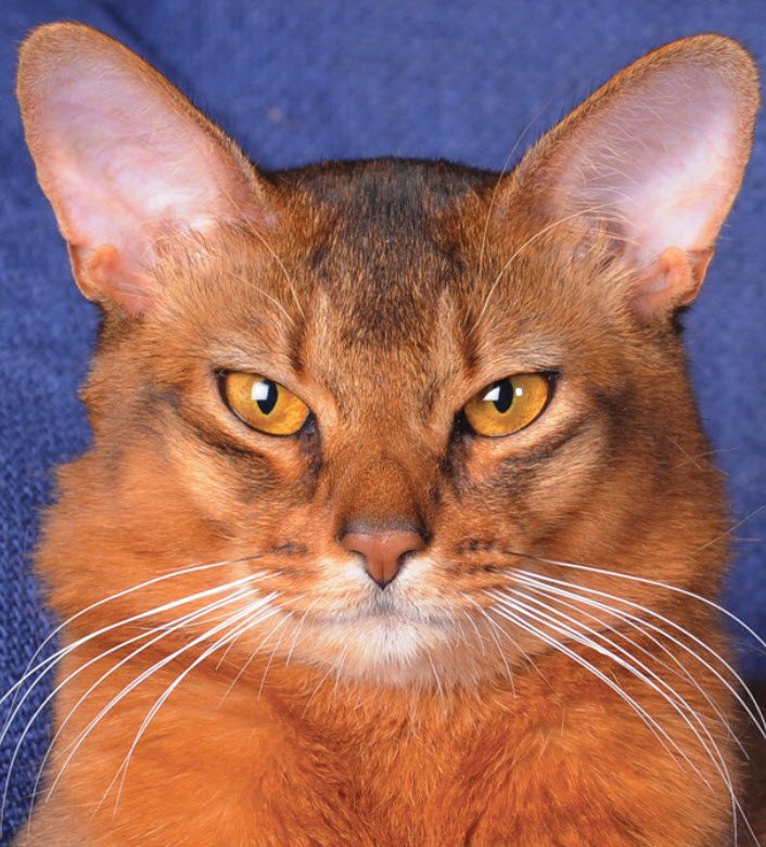 Abyssinian Cat Breed Info