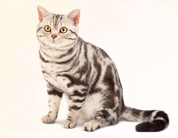 American Shorthair Cat Breed Info