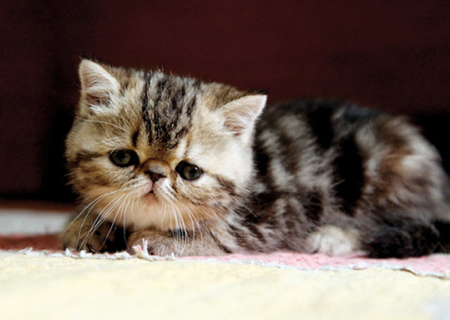 Learn About The Exotic Shorthair Cat Breed From A Trusted