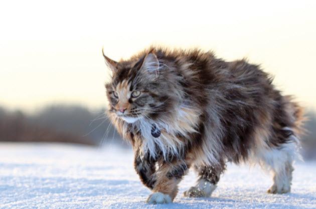 Maine Coon Weird Cat Breeds 10