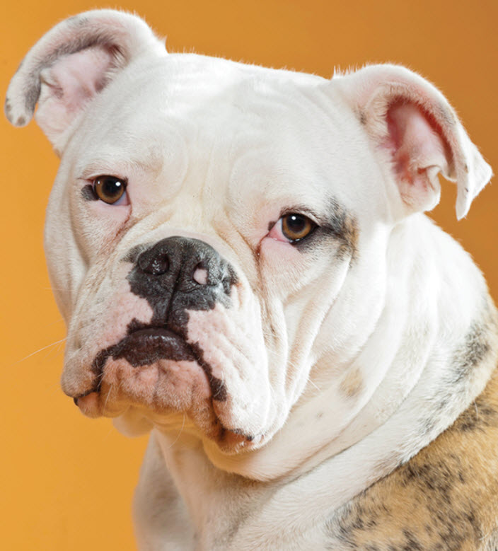 Bulldog Dog Breed Info
