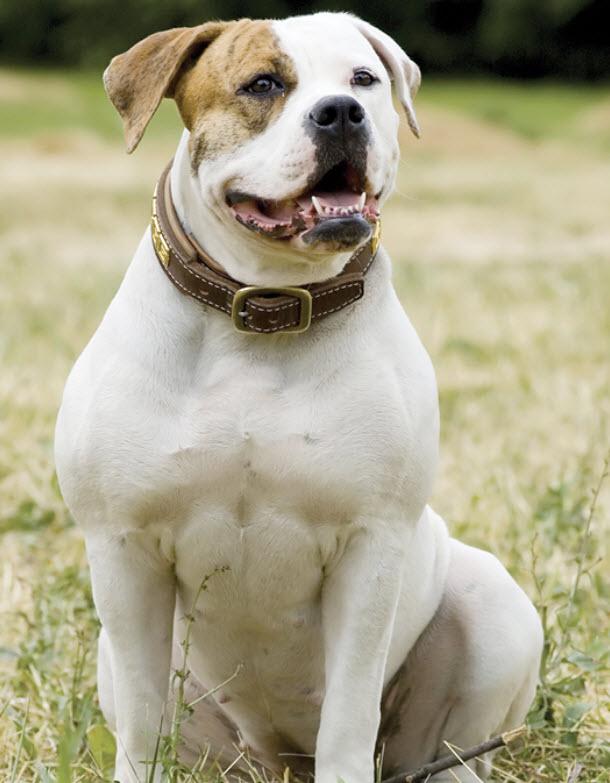 Bulldog Dog Breed Info