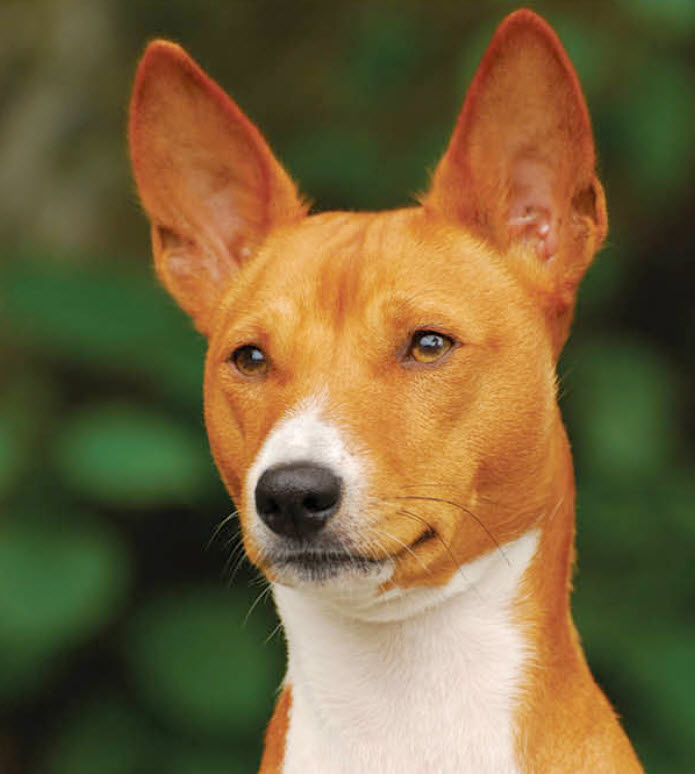 Basenji Dog Breed Info