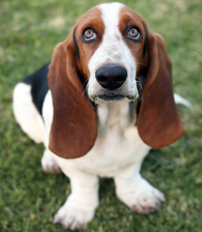 Basset Hound Dog Breed Info