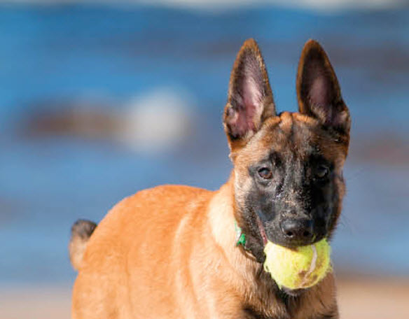 Belgian Malinois Dog Breed Info