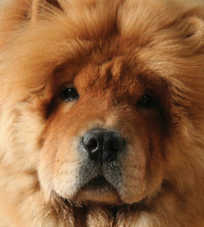 Learn About The Chow Chow Dog Breed From A Trusted Veterinarian