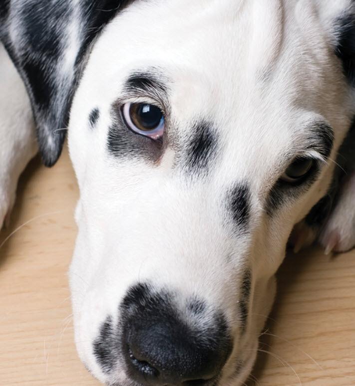 Dalmatian Dog Breed Info