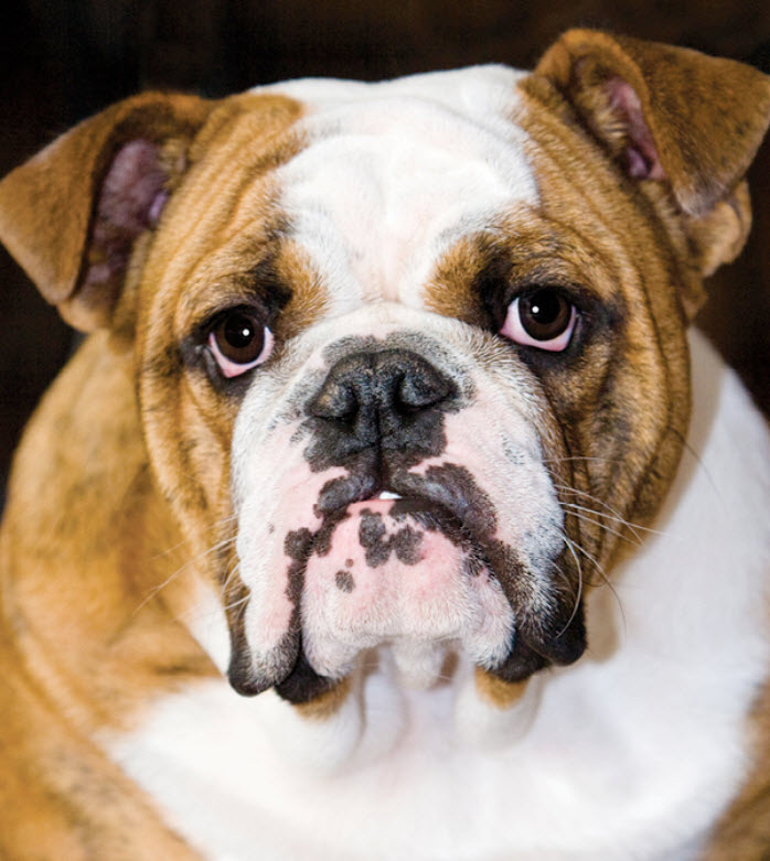 English Bulldog Dog Breed Info