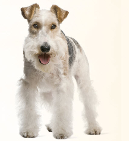 wire fox terrier haircut wire fox terrier 5700