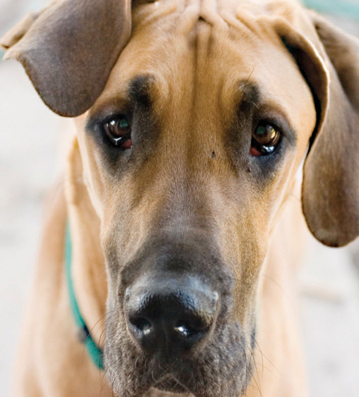 Great Dane Dog Breed Info