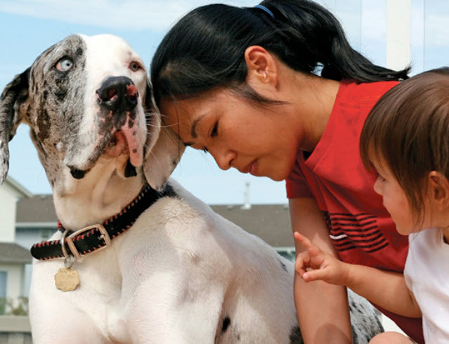Great Dane Dog Breed Info