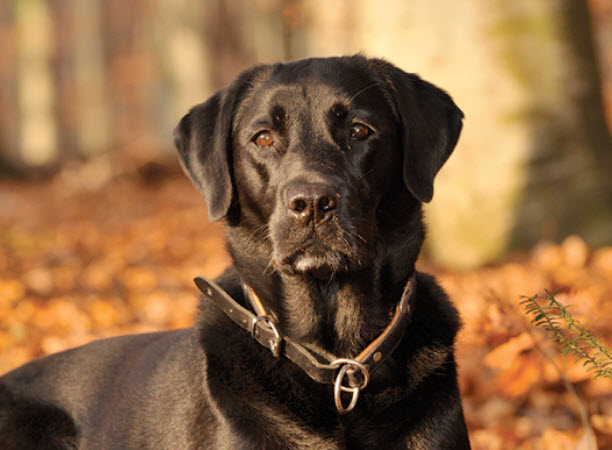 Labrador Retriever Dog Breed Info