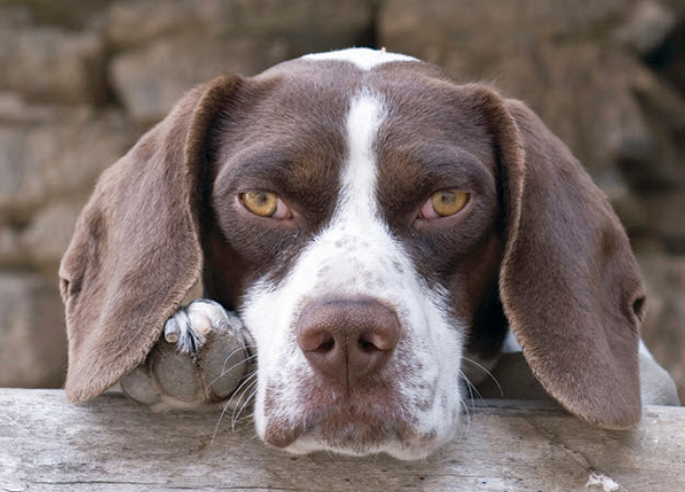 Pointer Dog Breed Info