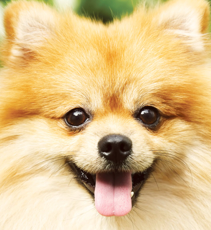 Learn About The Pomeranian Dog Breed From A Trusted Veterinarian