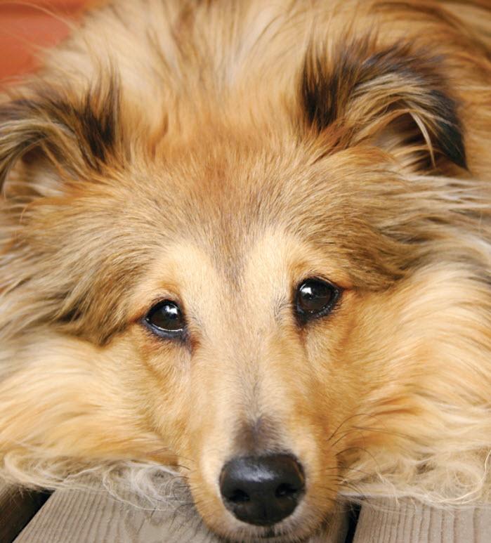 Shetland Sheepdog Dog Breed Info