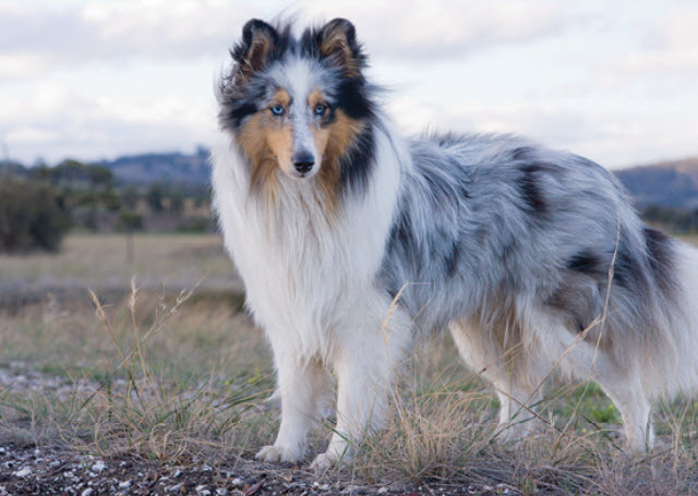 Learn About The Shetland Sheepdog Dog Breed From A Trusted