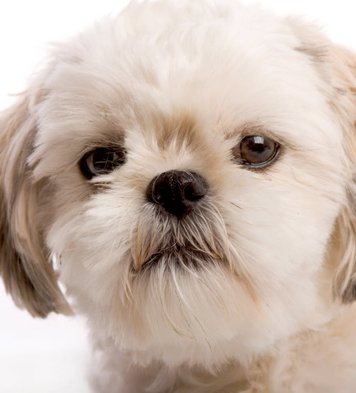 Learn About The Shih Tzu Dog Breed From A Trusted Veterinarian