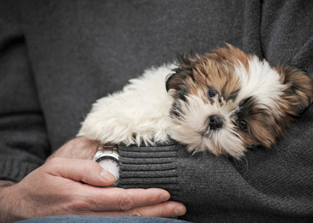 Shih Tzu Dog Breed Info