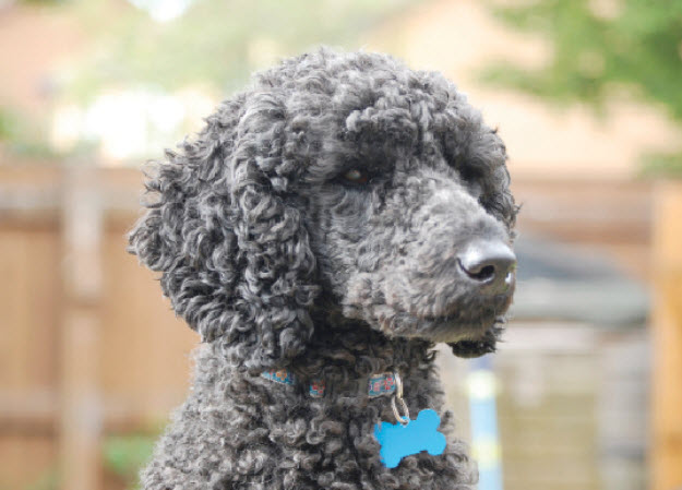 Learn About The Standard Poodle Dog Breed From A Trusted Veterinarian