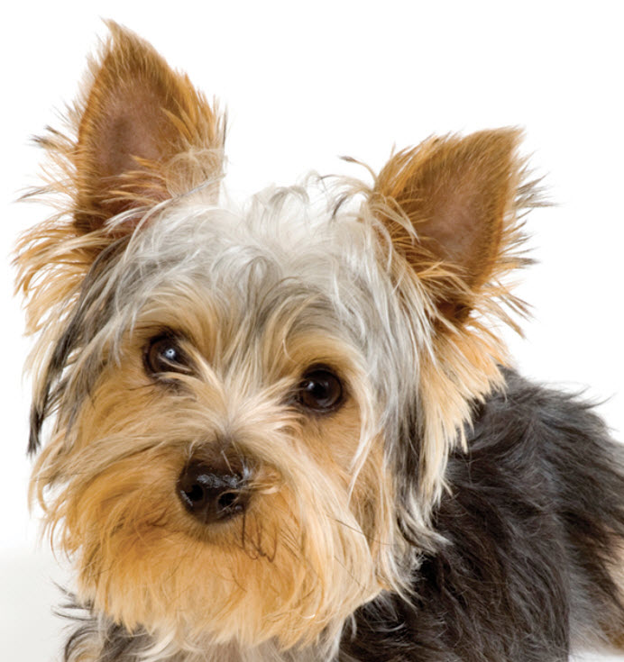 yorkie terrier breed yorkshire terrier 7399