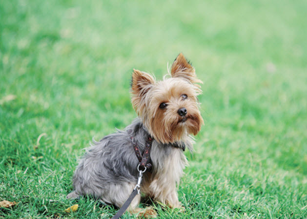 yorkie terrier breed yorkshire terrier 5309